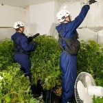 Philips LED auf Cannabis Farm
